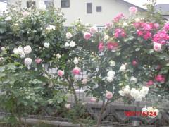 色とりどりののきれいなバラ