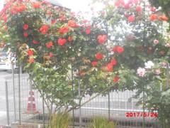 庭 工夫をこらしたバラ