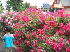 敷地内でのバラの花の中でオープンガーデン